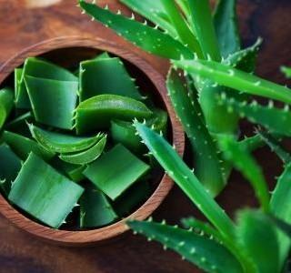 Aloe vera – okrasná rostlina, ale i malá domácí lékárnička