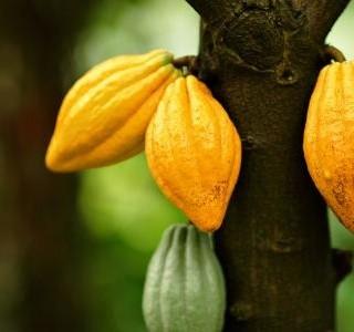 Čokoláda mystická plodina z dávné historie Jižní Ameriky ...