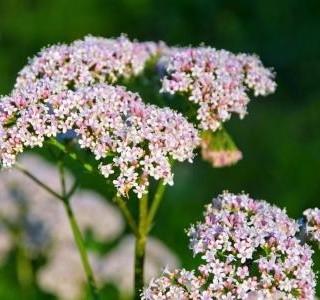 Kozlík lékařský: Ideální bylina do sychravého počasí…