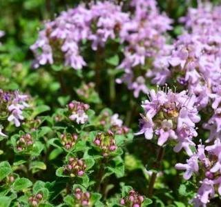 Mateřídouška na zahradě: krásná, nenáročná a léčivá