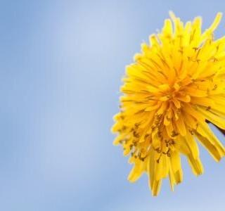 Pampeliška lékařská - zlato našich luk pro pevné zdraví…