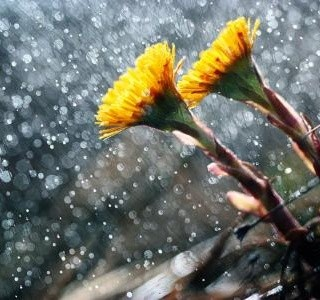 Podběl lékařský - malá nenápadná rostlina se žlutými kvítky...