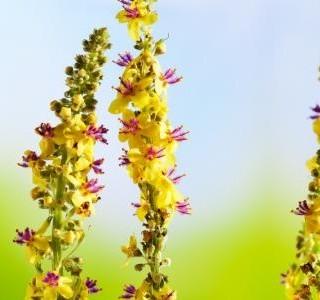 Řepík lékařský - král bylinek, který vám může pomoci při častých zánětech...